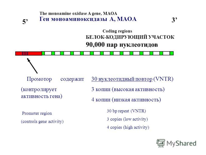 The monoamine oxidase A gene, MAOA 5 3 Coding regions БЕЛОК-КОДИРУЮЩИЙ УЧАСТОК 90,000 пар нуклеотидов Промотор (контролирует активность гена) Promoter region (controls gene activity) 30 bp repeat (VNTR) 3 copies (low activity) 4 copies (high activity