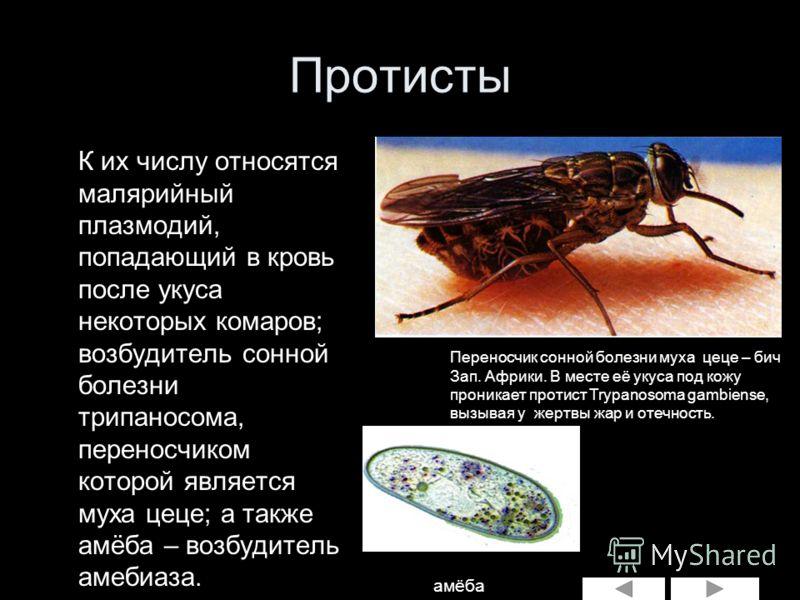 глисты комаров человека