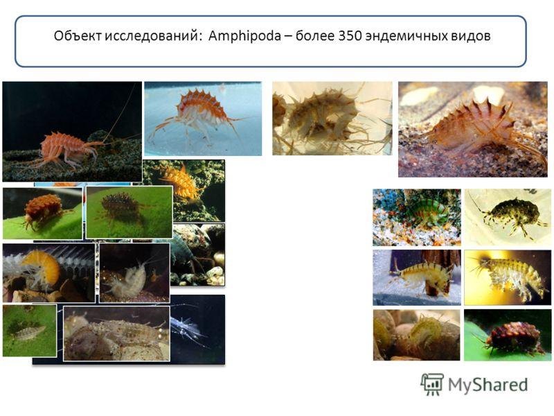 Объект исследований: Amphipoda – более 350 эндемичных видов