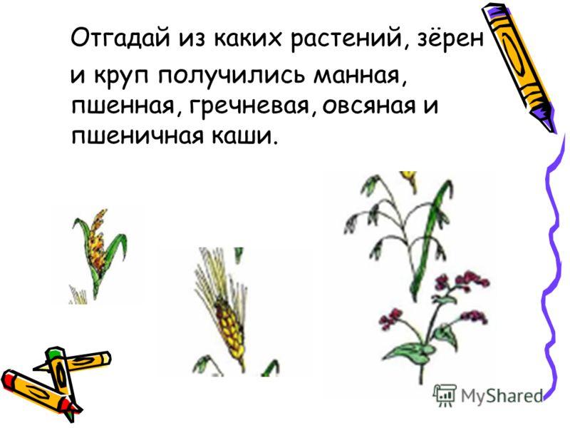 Отгадай из каких растений, зёрен и круп получились манная, пшенная, гречневая, овсяная и пшеничная каши.