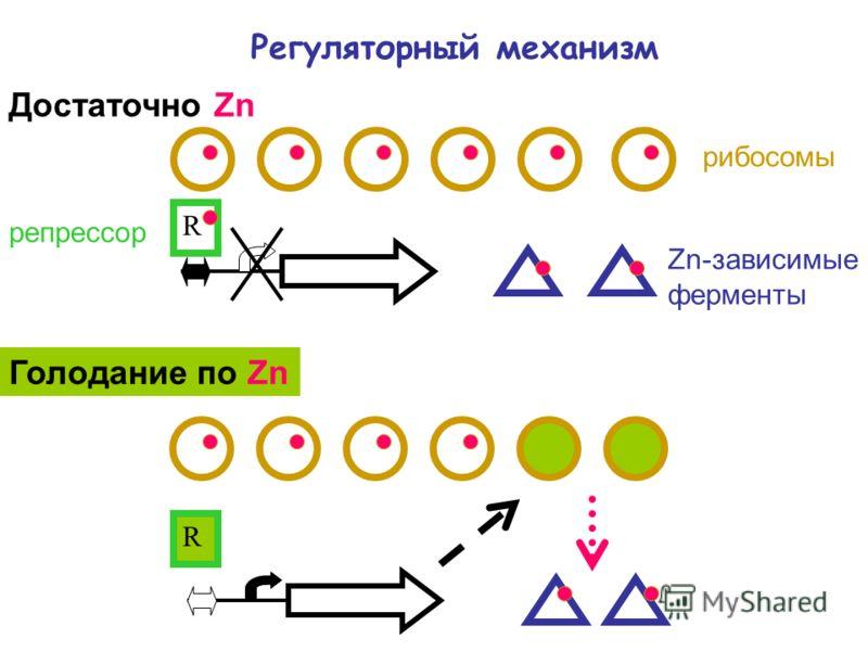 Регуляторный механизм рибосомы Zn-зависимые ферменты R Достаточно Zn Голодание по Zn R репрессор