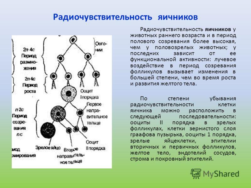 Радиочувствительность яичников Радиочувствительность яичников у животных раннего возраста и в период полового созревания более высокая, чем у половозрелых животных; у последних зависит от ее функциональной активности: лучевое воздействие в период соз