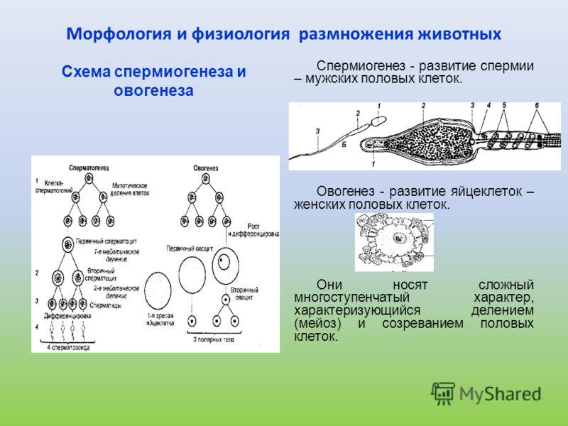 Овогенез - развитие яйцеклеток