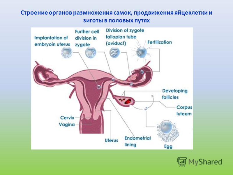 Строение органов размножения самок, продвижения яйцеклетки и зиготы в половых путях