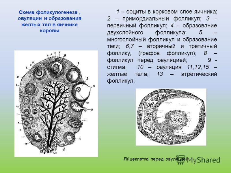 Схема фоликулогенеза, овуляции и образования желтых тел в яичнике коровы 1 – ооциты в корковом слое яичника; 2 – примордиальный фолликул; 3 – первичный фолликул; 4 – образование двухслойного фолликула; 5 – многослойный фолликул и образование теки; 6,