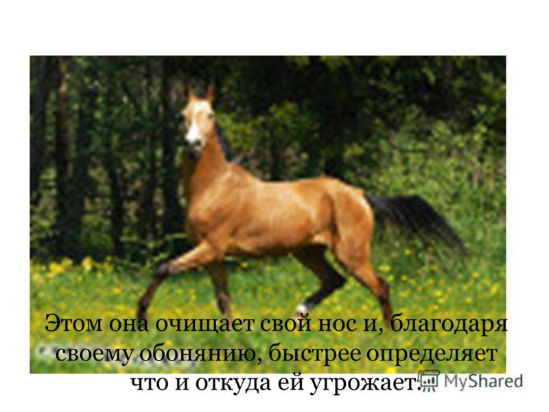 Почему испугавшись лошади начинают фыркать? Этом она очищает свой нос и, благодаря своему обонянию, быстрее определяет что и откуда ей угрожает.