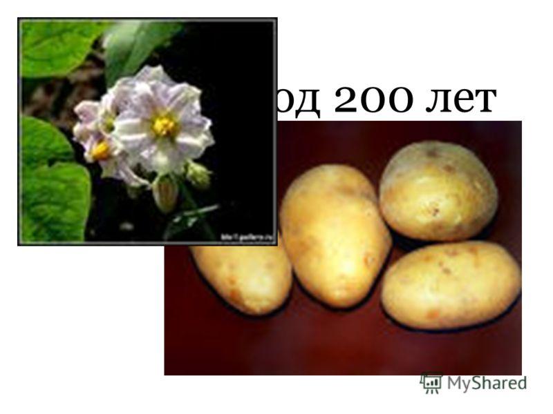 Какой плод 200 лет назад называли «чертовым яблоком»