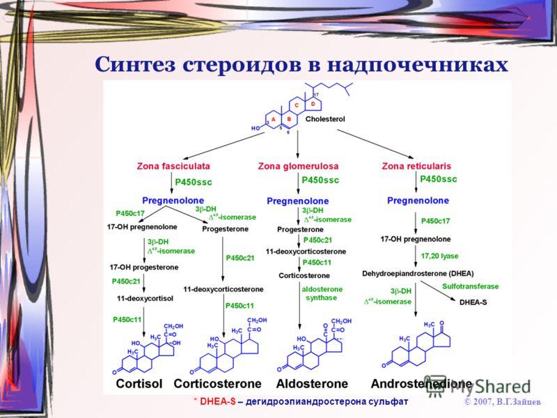 Синтез стероидов в надпочечниках © 2007, В.Г.Зайцев * DHEA-S – дегидроэпиандростерона сульфат
