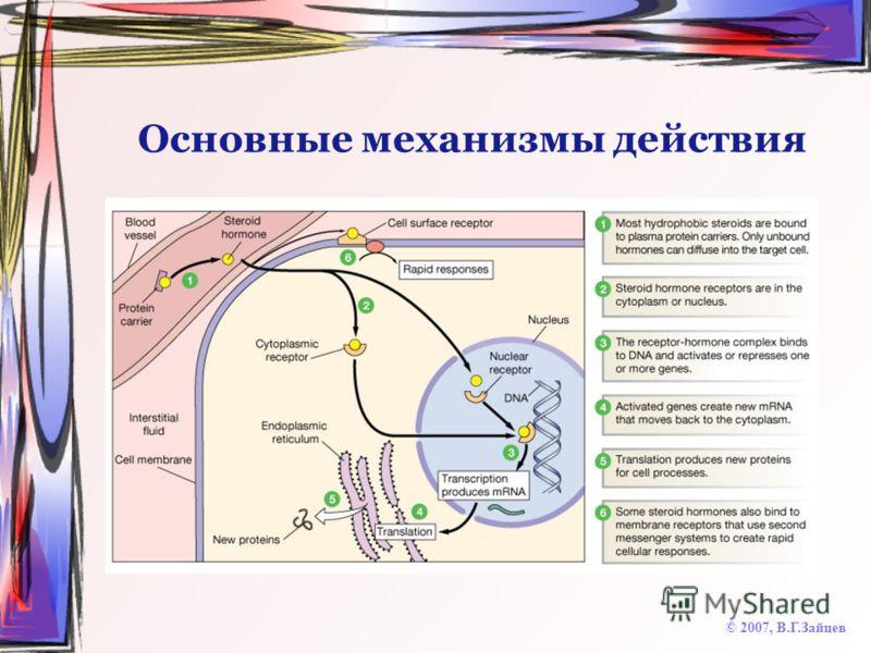 Основные механизмы действия © 2007, В.Г.Зайцев
