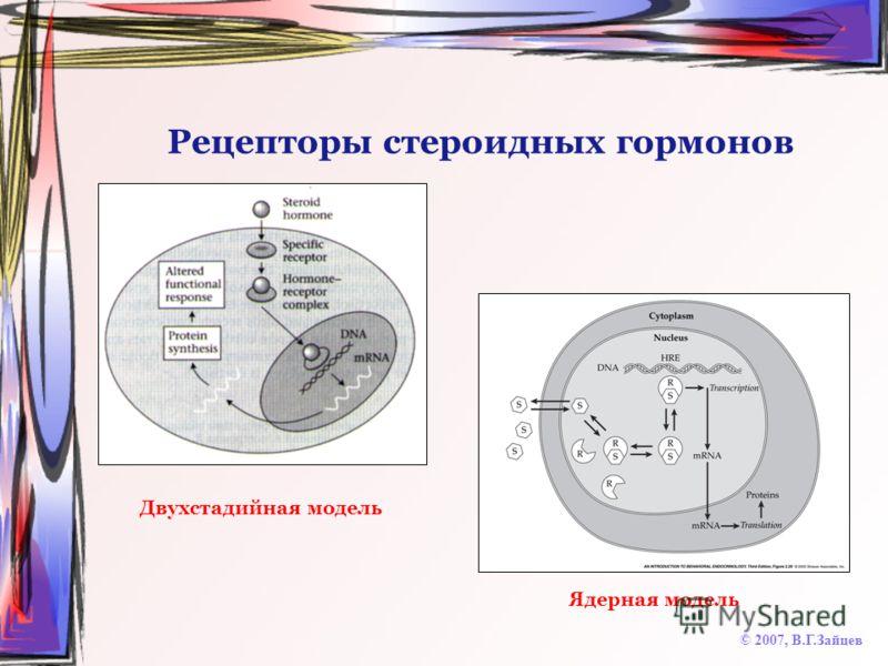 Рецепторы стероидных гормонов © 2007, В.Г.Зайцев Двухстадийная модель Ядерная модель