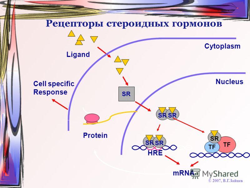 Рецепторы стероидных гормонов © 2007, В.Г.Зайцев Cytoplasm HRE Nucleus Ligand SR mRNA Protein Cell specific Response TF SR