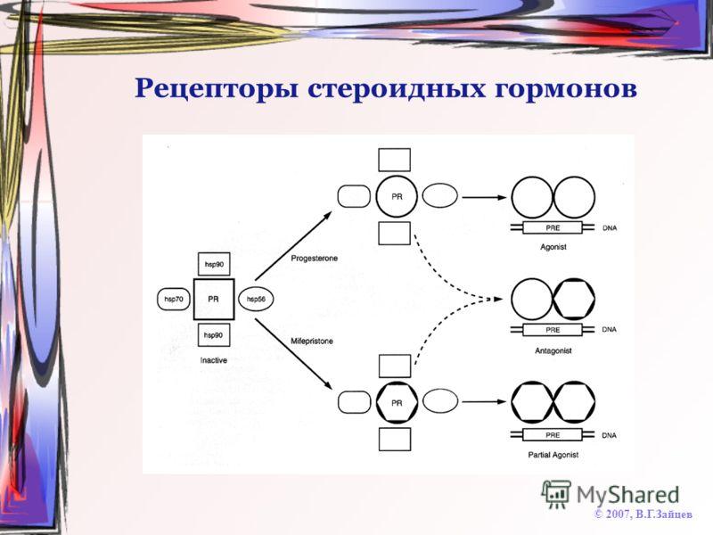 Рецепторы стероидных гормонов © 2007, В.Г.Зайцев