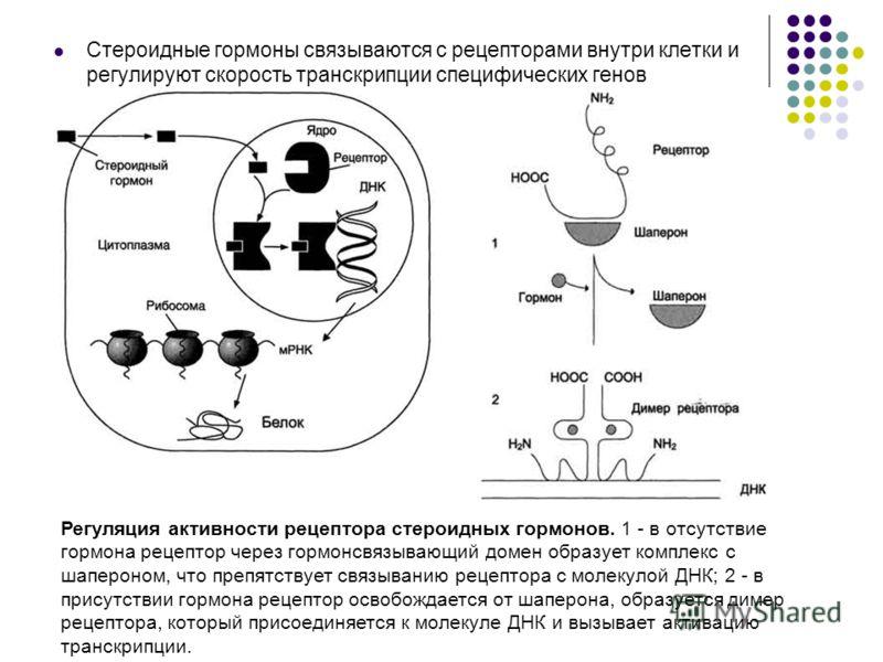 Стероидные гормоны связываются с рецепторами внутри клетки и регулируют скорость транскрипции специфических генов Регуляция активности рецептора стероидных гормонов. 1 - в отсутствие гормона рецептор через гормонсвязывающий домен образует комплекс с