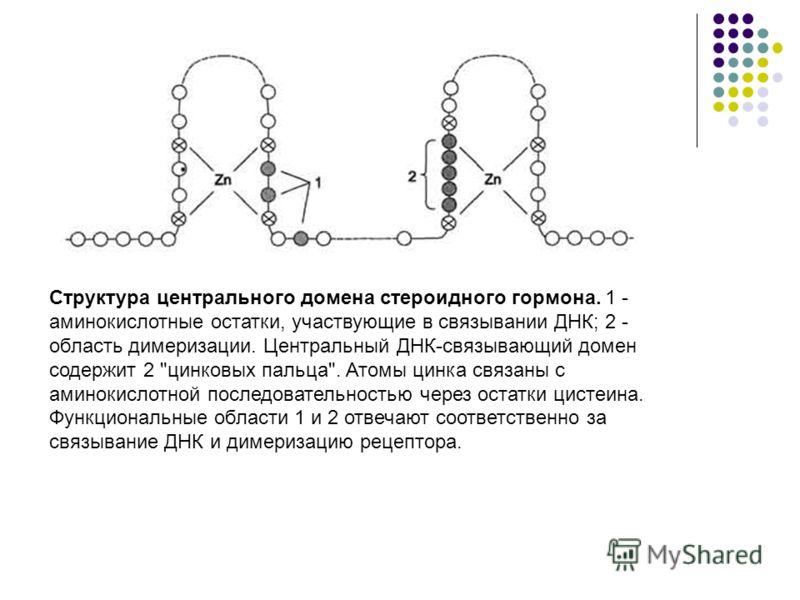 Структура центрального домена стероидного гормона. 1 - аминокислотные остатки, участвующие в связывании ДНК; 2 - область димеризации. Центральный ДНК-связывающий домен содержит 2