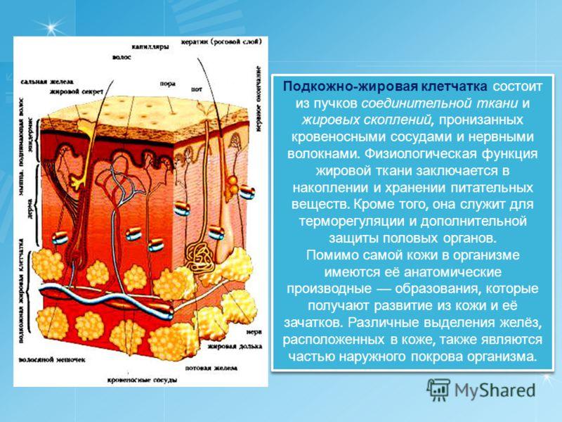 Подкожно - жировая клетчатка состоит из пучков соединительной ткани и жировых скоплений, пронизанных кровеносными сосудами и нервными волокнами. Физиологическая функция жировой ткани заключается в накоплении и хранении питательных веществ. Кроме того
