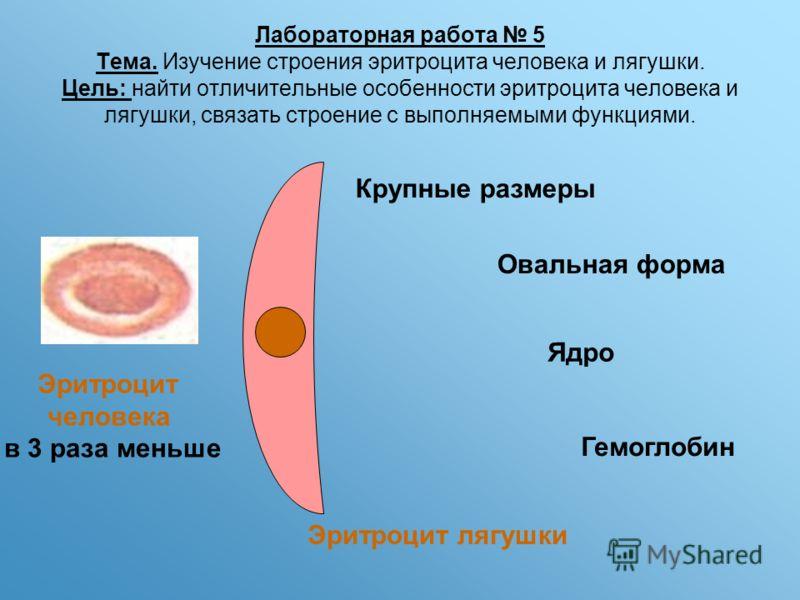 Лабораторная работа 5 Тема. Изучение строения эритроцита человека и лягушки. Цель: найти отличительные особенности эритроцита человека и лягушки, связать строение с выполняемыми функциями. Крупные размеры Овальная форма Ядро Гемоглобин Эритроцит лягу