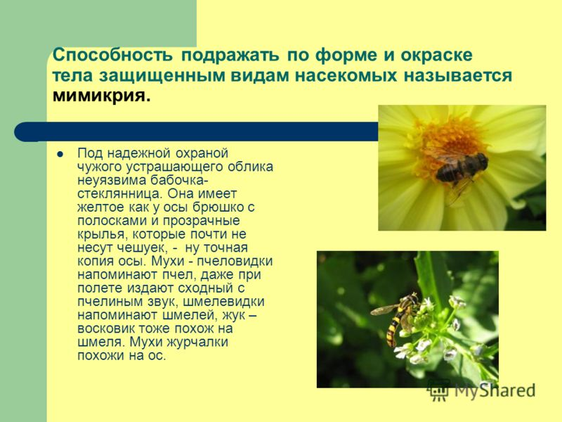 Способность подражать по форме и окраске тела защищенным видам насекомых называется мимикрия. Под надежной охраной чужого устрашающего облика неуязвима бабочка- стеклянница. Она имеет желтое как у осы брюшко с полосками и прозрачные крылья, которые п