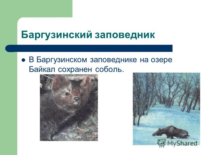 Баргузинский заповедник В Баргузинском заповеднике на озере Байкал сохранен соболь.