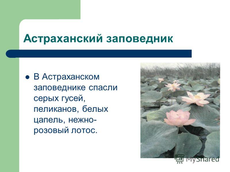 Астраханский заповедник В Астраханском заповеднике спасли серых гусей, пеликанов, белых цапель, нежно- розовый лотос.