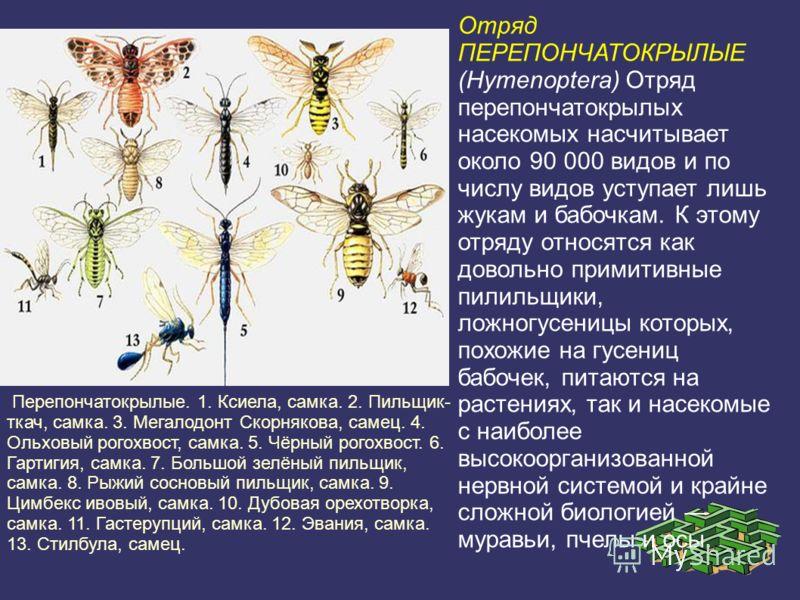 Отряд ПЕРЕПОНЧАТОКРЫЛЫЕ (Hymenoptera) Отряд перепончатокрылых насекомых насчитывает около 90 000 видов и по числу видов уступает лишь жукам и бабочкам. К этому отряду относятся как довольно примитивные пилильщики, ложногусеницы которых, похожие на гу