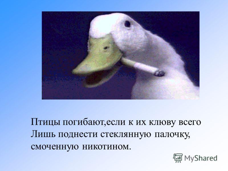 Птицы погибают,если к их клюву всего Лишь поднести стеклянную палочку, смоченную никотином.