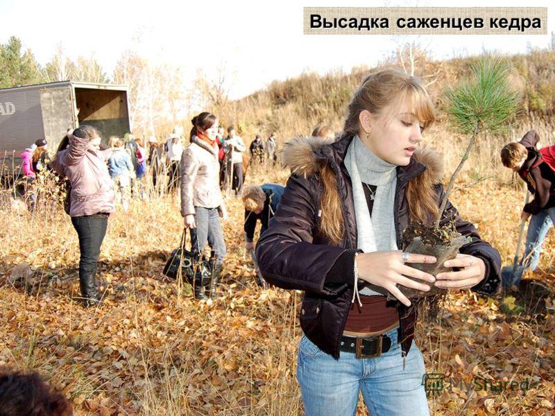 Высадка саженцев кедра
