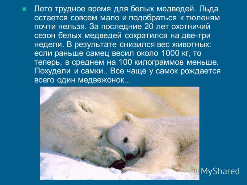 Лето трудное время для белых медведей. Льда остается совсем мало и подобраться к тюленям почти нельзя. За последние 20 лет охотничий сезон белых медведей сократился на две-три недели. В результате снизился вес животных: если раньше самец весил около