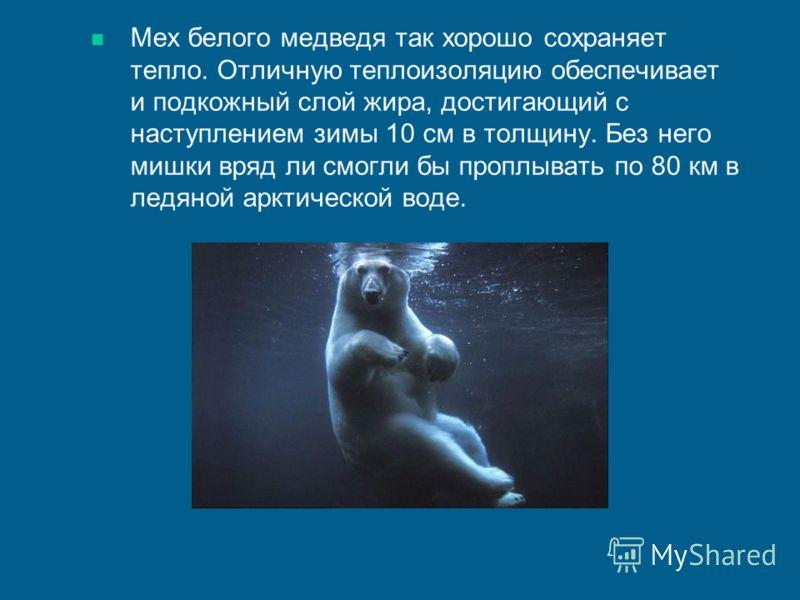 Мех белого медведя так хорошо сохраняет тепло. Отличную теплоизоляцию обеспечивает и подкожный слой жира, достигающий с наступлением зимы 10 см в толщину. Без него мишки вряд ли смогли бы проплывать по 80 км в ледяной арктической воде.
