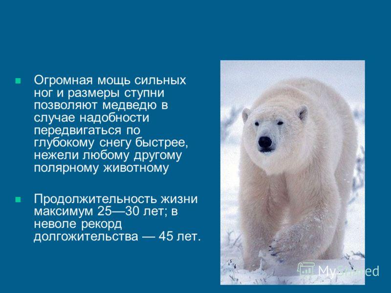 Презентация про медведя