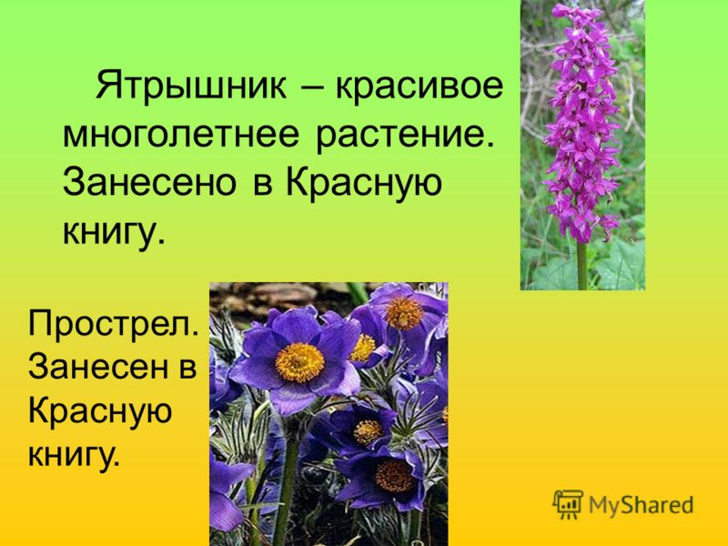 Ятрышник – красивое многолетнее растение. Занесено в Красную книгу. Прострел. Занесен в Красную книгу.