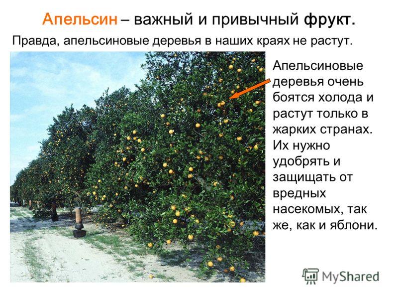 Апельсин – важный и привычный фрукт. Правда, апельсиновые деревья в наших краях не растут. Апельсиновые деревья очень боятся холода и растут только в жарких странах. Их нужно удобрять и защищать от вредных насекомых, так же, как и яблони.