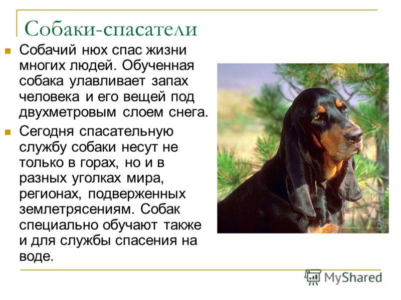 Собаки-спасатели Собачий нюх спас жизни многих людей. Обученная собака улавливает запах человека и его вещей под двухметровым слоем снега. Сегодня спасательную службу собаки несут не только в горах, но и в разных уголках мира, регионах, подверженных