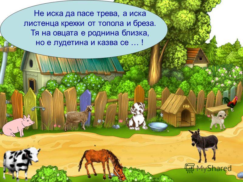 Не иска да пасе трева, а иска листенца крехки от топола и бреза. Тя на овцата е роднина близка, но е лудетина и казва се … !