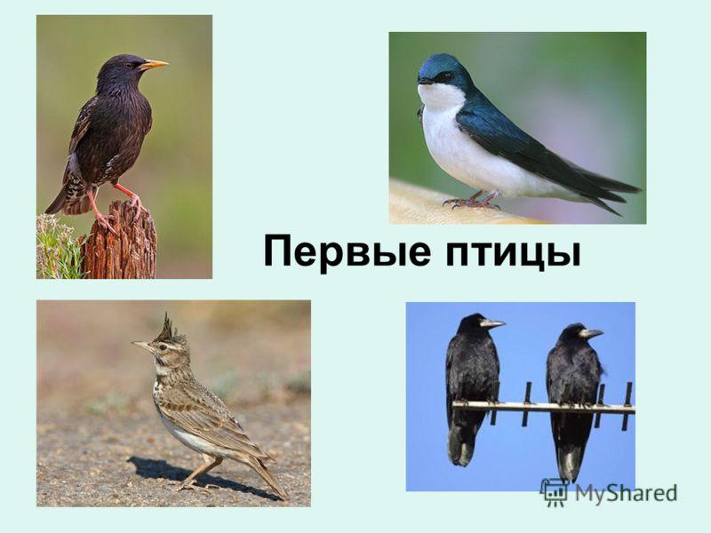 Первые птицы