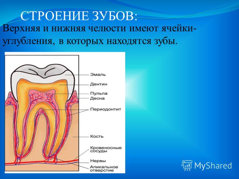 ПИЩЕВАРЕНИЕ В РОТОВОЙ ПОЛОСТИ: Пищеварительный тракт начинается в ротовой полости.Здесь пища смачивается слюной и пережёвывается.Зубы разрывают, размельчают и перетирают пищу.