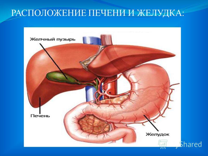 ПИЩЕВАРЕНИЕ В ЖЕЛУДКЕ И ДВЕНАДЦАТИПЕРСТНОЙ КИШКЕ: Из глотки сформировавшийся в ротовой полости пищевой комок попадает в пищевод. Желудок- самая широкая часть пищеварительного тракта.