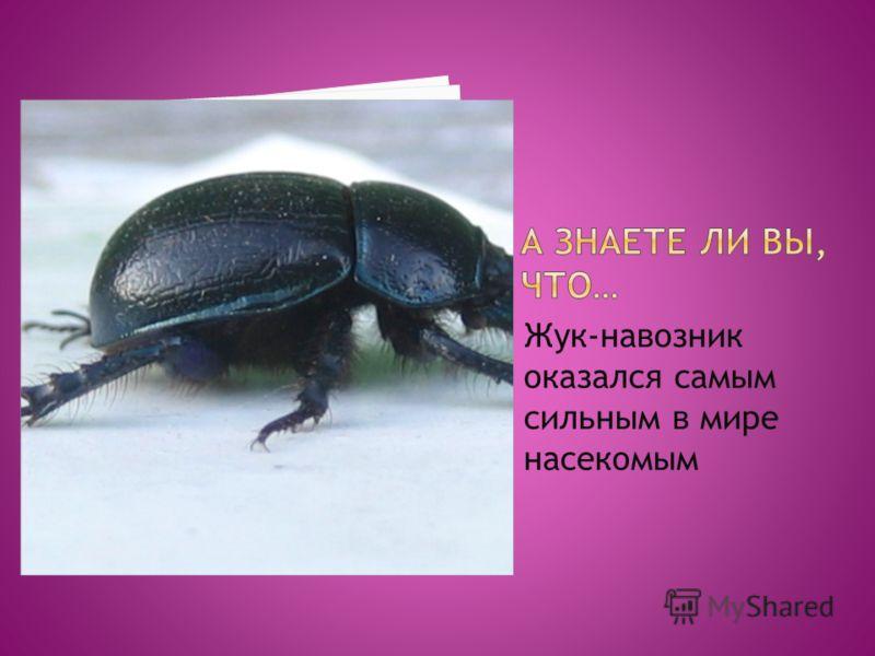 Жук-навозник оказался самым сильным в мире насекомым