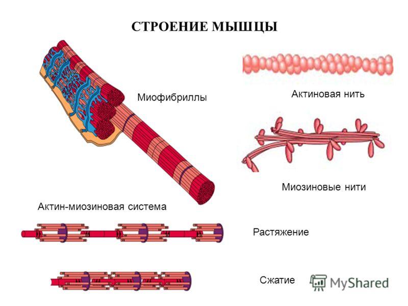 СТРОЕНИЕ МЫШЦЫ Актиновая нить Миозиновые нити Актин-миозиновая система Растяжение Сжатие Миофибриллы