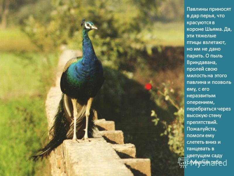 Павлины приносят в дар перья, что красуются в короне Шьяма. Да, эти тяжелые птицы взлетают, но им не дано парить. О пыль Вриндавана, пролей свою милость на этого павлина и позволь ему, с его неразвитым оперением, перебраться через высокую стену препя