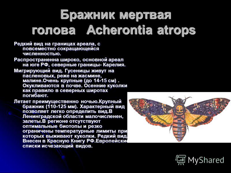 ЛЕНТОЧНИЦА ОРДЕНСКАЯ ЛЕНТА Широко распроcтранненая в Евразии бабочка. Численность в северных частях ареала низкая. Размах крыльев 80-85 мм. Лет в июле сентябре. Гусеницы развиваются на ивах,тополях.Обитает в осветленных смешанных лесах, предпочитая о