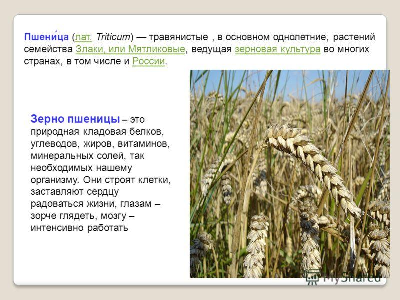 Зерно пшеницы – это природная кладовая белков, углеводов, жиров, витаминов, минеральных солей, так необходимых нашему организму. Они строят клетки, заставляют сердцу радоваться жизни, глазам – зорче глядеть, мозгу – интенсивно работать Пшени́ца (лат.