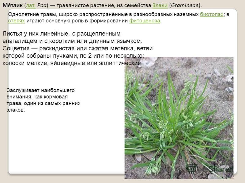 Мя́тлик (лат. Poa) травянистое растение, из семейства Злаки (Gramineae).лат.Злаки Однолетние травы, широко распространённые в разнообразных наземных биотопах; в степях играют основную роль в формировании фитоценозабиотопах степяхфитоценоза Листья у н