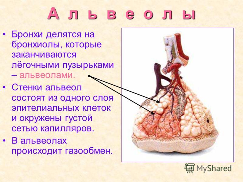 А л ь в е о л ы Бронхи делятся на бронхиолы, которые заканчиваются лёгочными пузырьками – альвеолами. Стенки альвеол состоят из одного слоя эпителиальных клеток и окружены густой сетью капилляров. В альвеолах происходит газообмен.