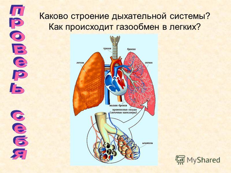 Каково строение дыхательной системы? Как происходит газообмен в легких?