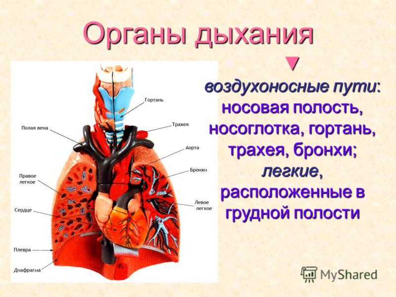 Органы дыхания воздухоносные пути: носовая полость, носоглотка, гортань, трахея, бронхи; легкие, расположенные в грудной полости