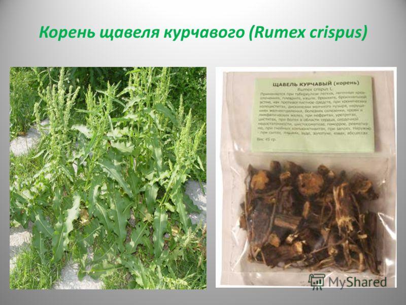Корень щавеля курчавого (Rumex crispus)