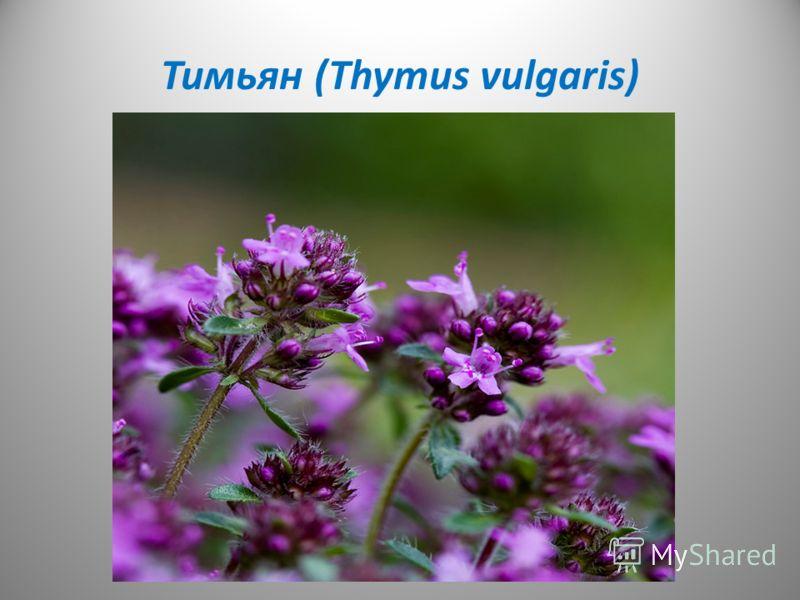 Тимьян (Thymus vulgaris)