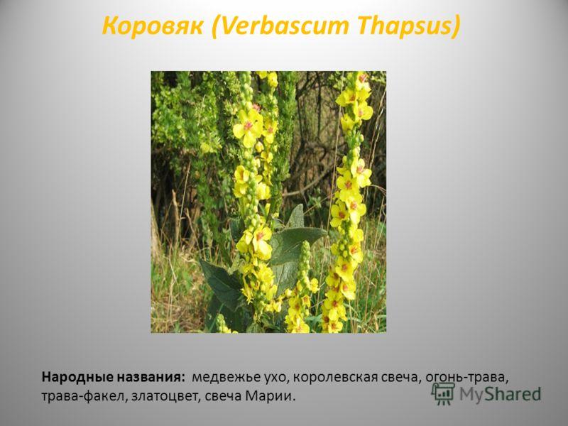 Коровяк (Verbascum Thapsus) Народные названия: медвежье ухо, королевская свеча, огонь-трава, трава-факел, златоцвет, свеча Марии.