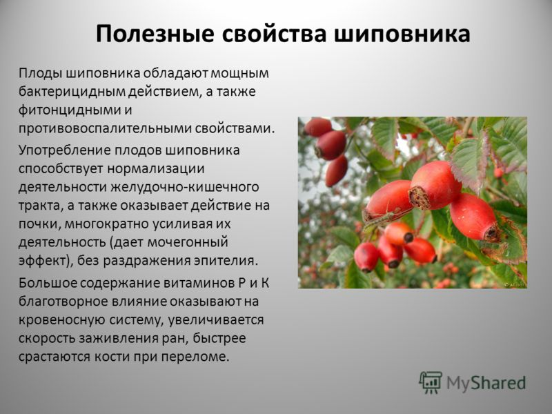 Полезные свойства шиповника Плоды шиповника обладают мощным бактерицидным действием, а также фитонцидными и противовоспалительными свойствами. Употребление плодов шиповника способствует нормализации деятельности желудочно-кишечного тракта, а также ок