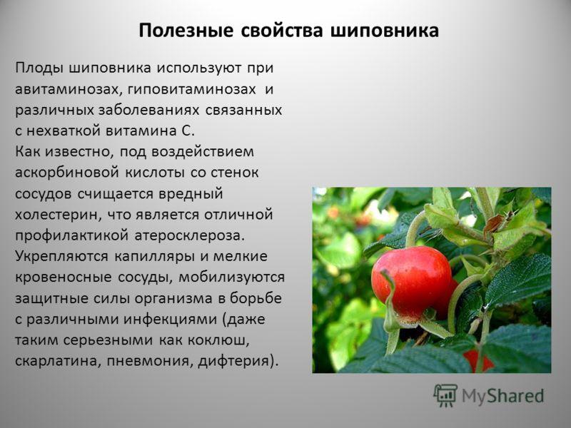 Полезные свойства шиповника Плоды шиповника используют при авитаминозах, гиповитаминозах и различных заболеваниях связанных с нехваткой витамина С. Как известно, под воздействием аскорбиновой кислоты со стенок сосудов счищается вредный холестерин, чт